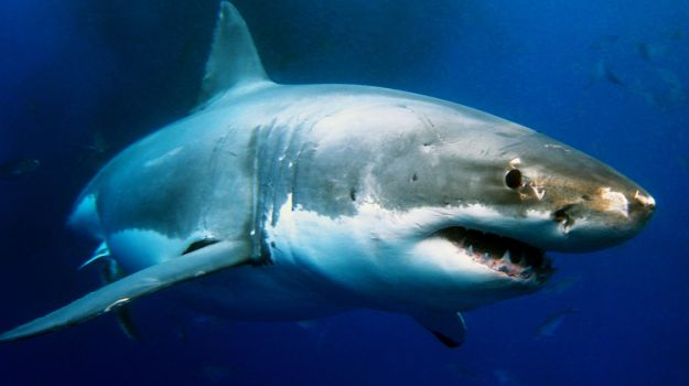 Eating Shark Products May Increase Alzheimer's Risk