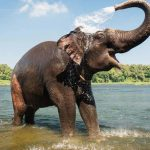 Cancer rarely affects elephants, here's the real reason behind it