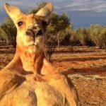 Roger, the world-famous ripped kangaroo dies at 12. Social media is heartbroken